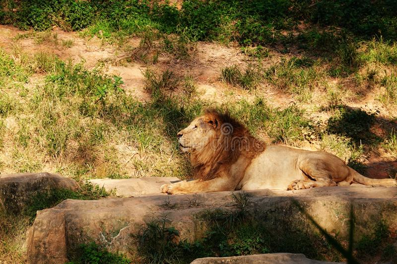 Male lion in the wild royalty free stock photography