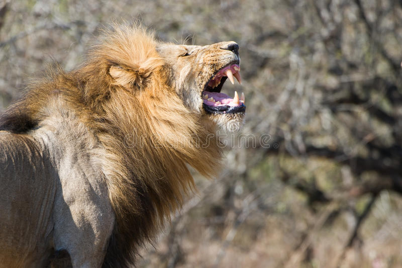 male Lion yawning South Africa stock photo