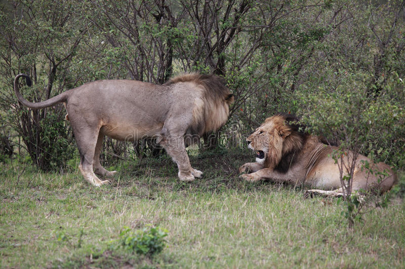 Download Male Lions In Kenya stock photo. Image of safari, aggression - 28819248