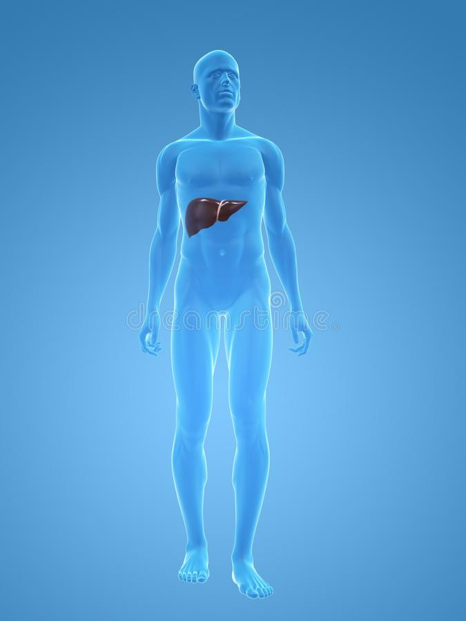Male liver royalty free stock image