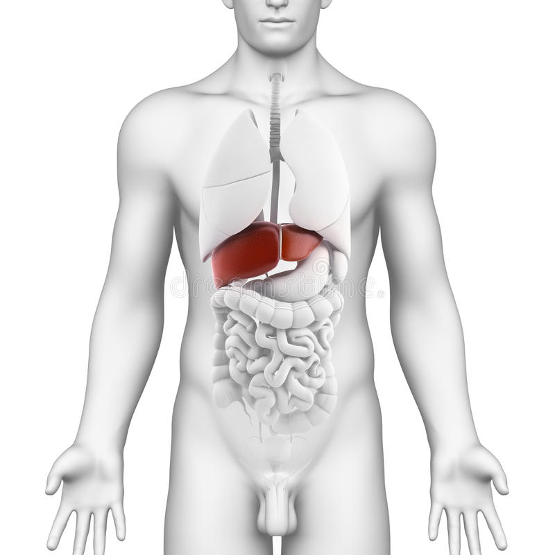 Male Liver Organ - Interior View With Full Body Stock Photography