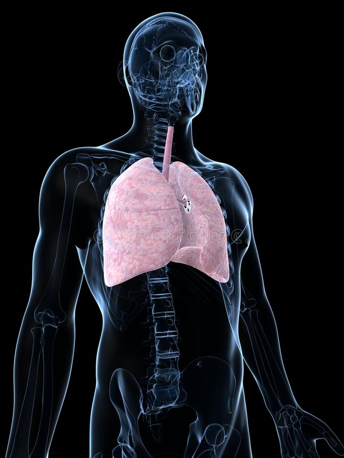 Male Lung Stock Images