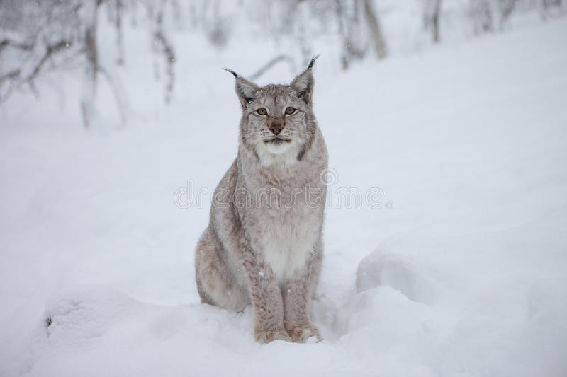 Download A male Lynx stares stock image. Image of prowl, norwegian - 14232729