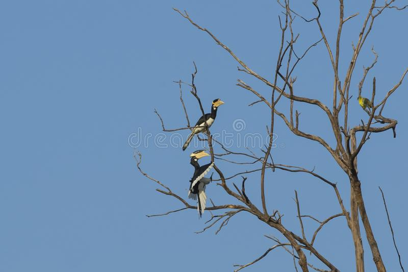 Male Malabar Pied Hornbill Approaching Tree in Flight. Under clear blue skies, perching on the side of a bare tree sits female  Malabar Pied Hornbill, facing a royalty free stock images