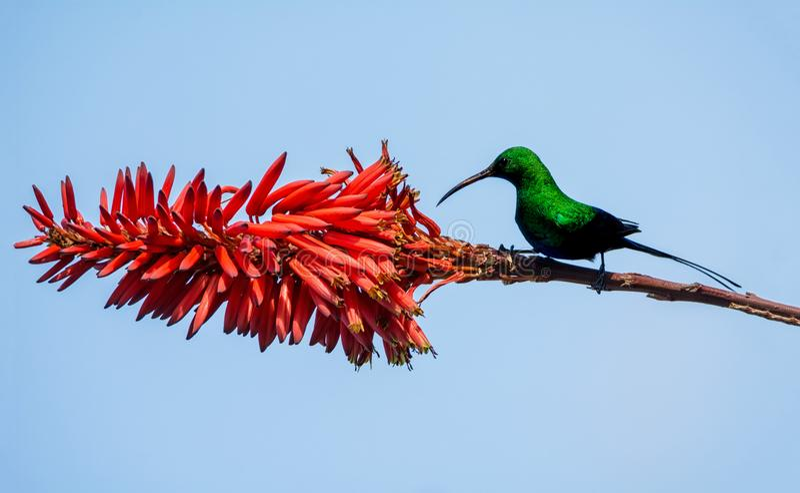 Malachite Sunbird. A male Malachite Sunbird in full breeding plumage in Southern Africa stock photos