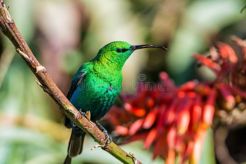 Malachite Sunbird. A male Malachite Sunbird in full breeding plumage in Southern Africa stock photo