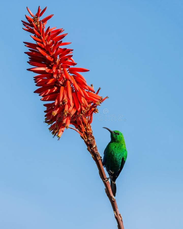 Malachite Sunbird. A male Malachite Sunbird in full breeding plumage in Southern Africa stock image