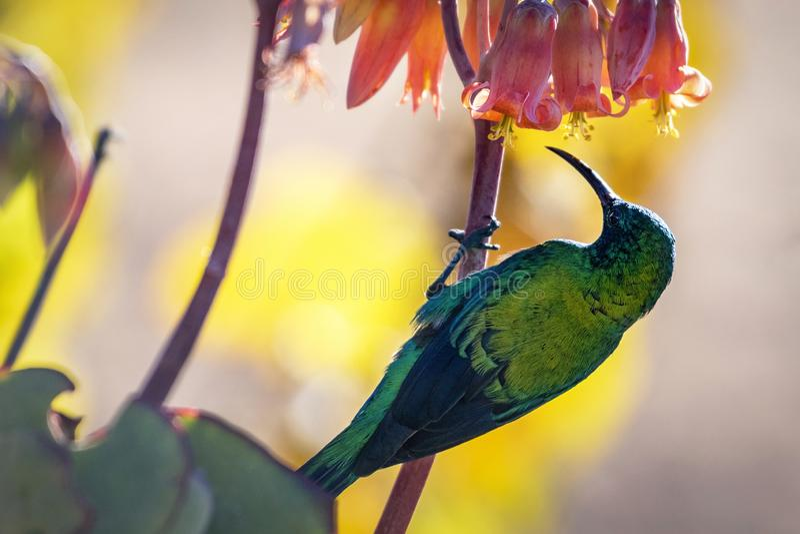 Male Malachite Sunbird Nectarinia famosa. Feeding on nectar stock photos