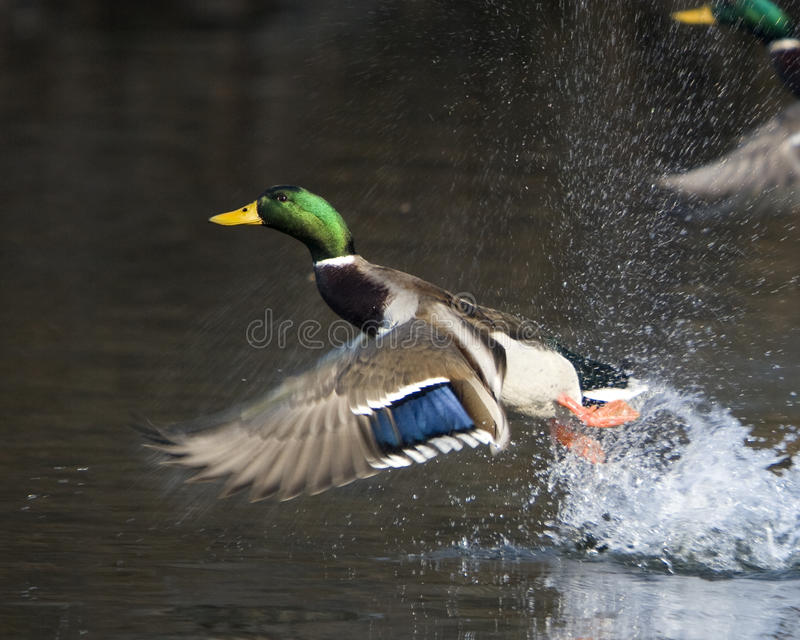 Male Mallard Duck In Flight. A male Mallard Duck flying over water with the shoreline in the background royalty free stock photography