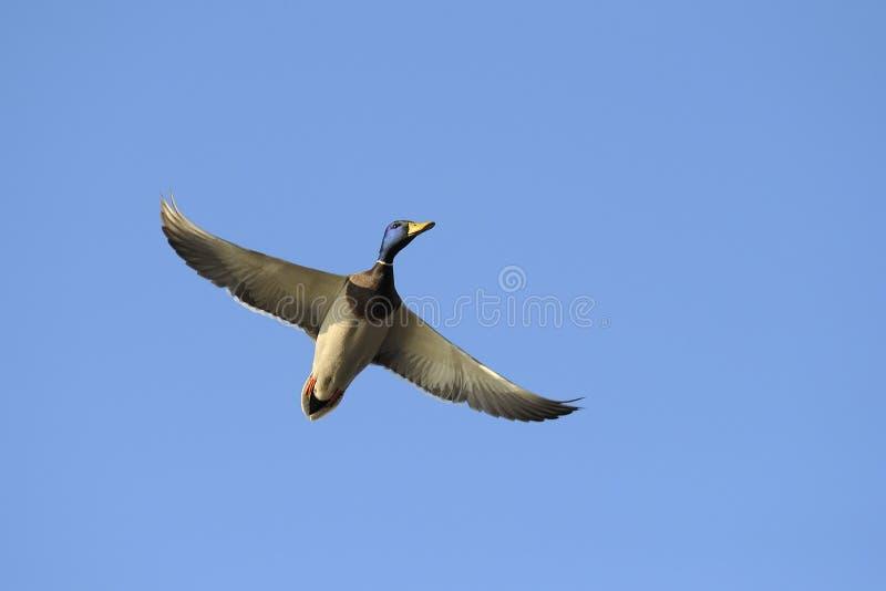 Male mallard duck in flight royalty free stock image