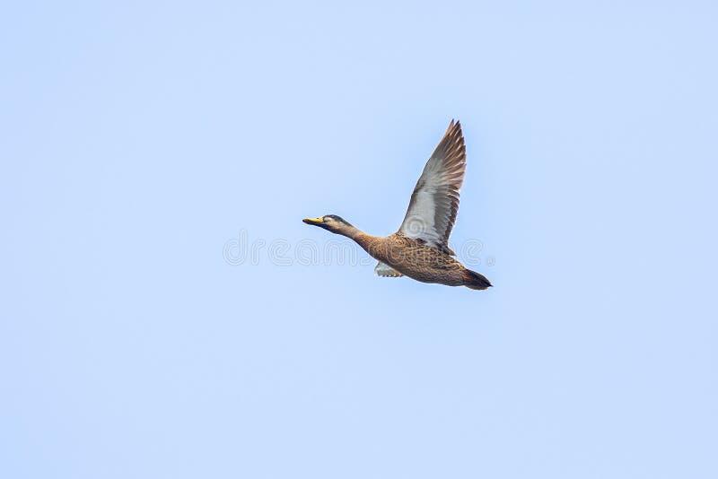 Male Mallard Duck in Flight, spanwijdte over Blue Sky stock fotografie