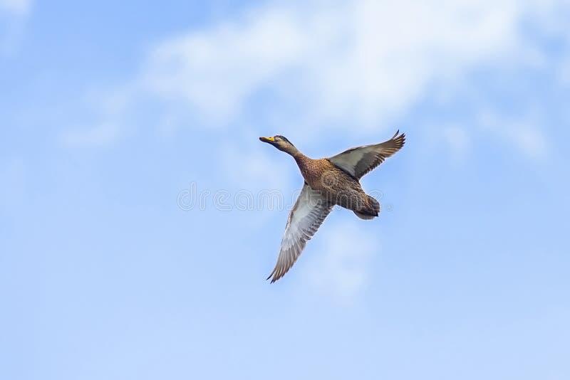 Male Mallard Duck Flying Above In The Sky. Male Mallard duck flying above over a blue sky stock image