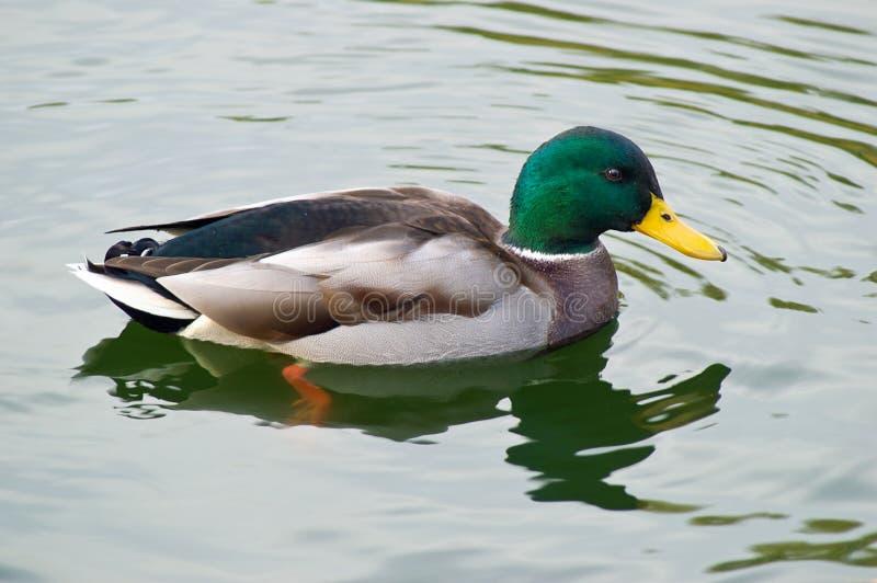 Male Mallard duck swimming in stock photo