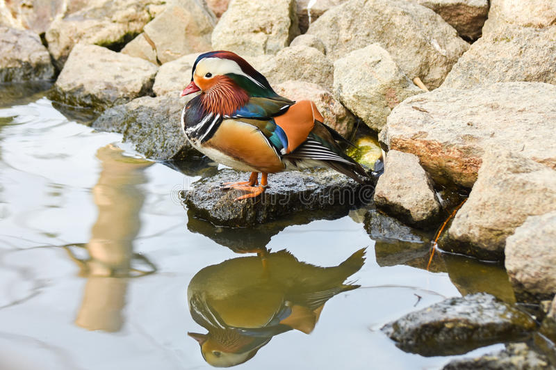 Download Male Mandarin Duck Standing Near A Lake With Reflection On Water. Stock Photo - Image: 83708028