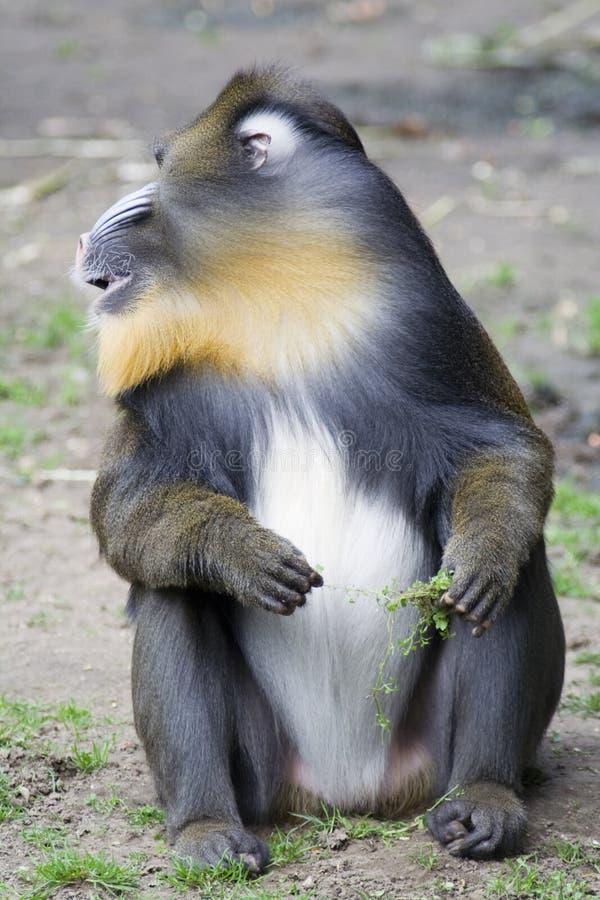 male mandrill royaltyfri fotografi