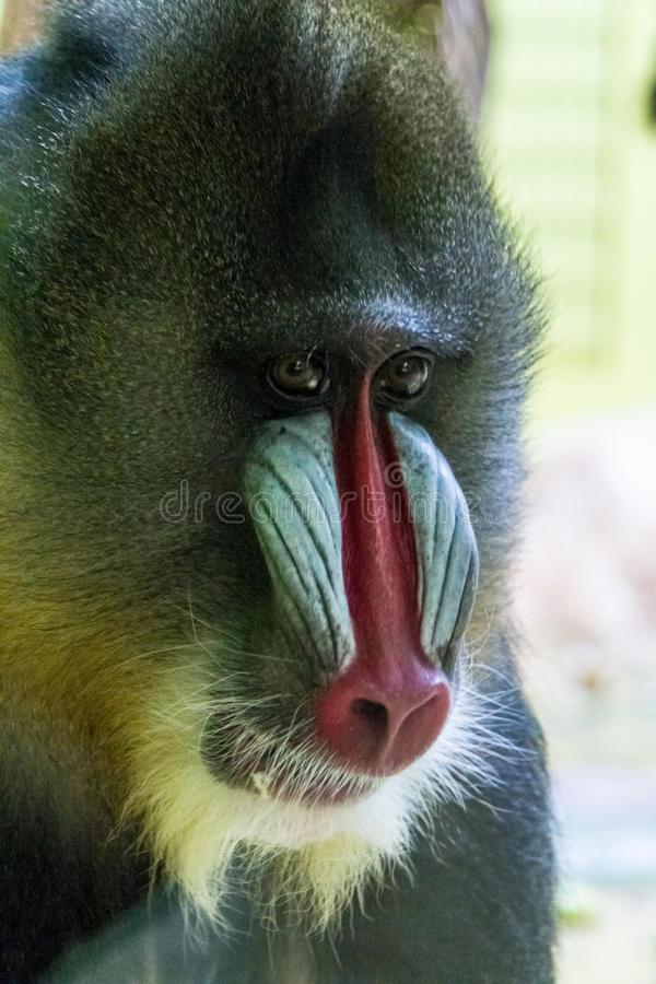 Male Mandrill with Red and Blue Face Markings royalty free stock photography