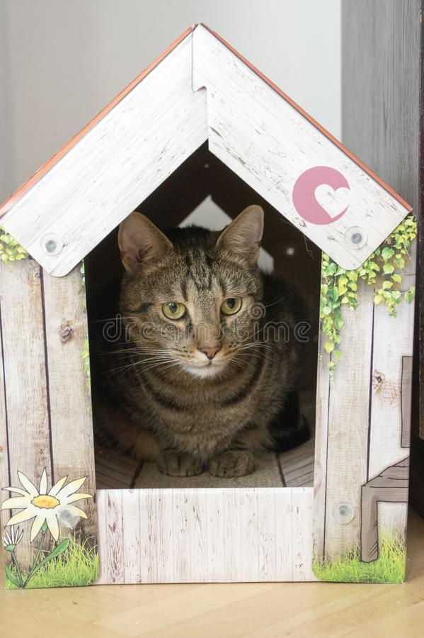 Funny marble cat in carboard handcraft house. Male marble cat with clever stern and serious expression on his face, eye contact, hidden in his color romantic royalty free stock photo