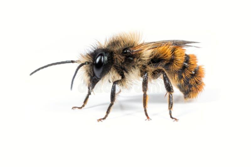 Male Mason Bee. A male Osmia bicornis Mason Bee on a white background stock images