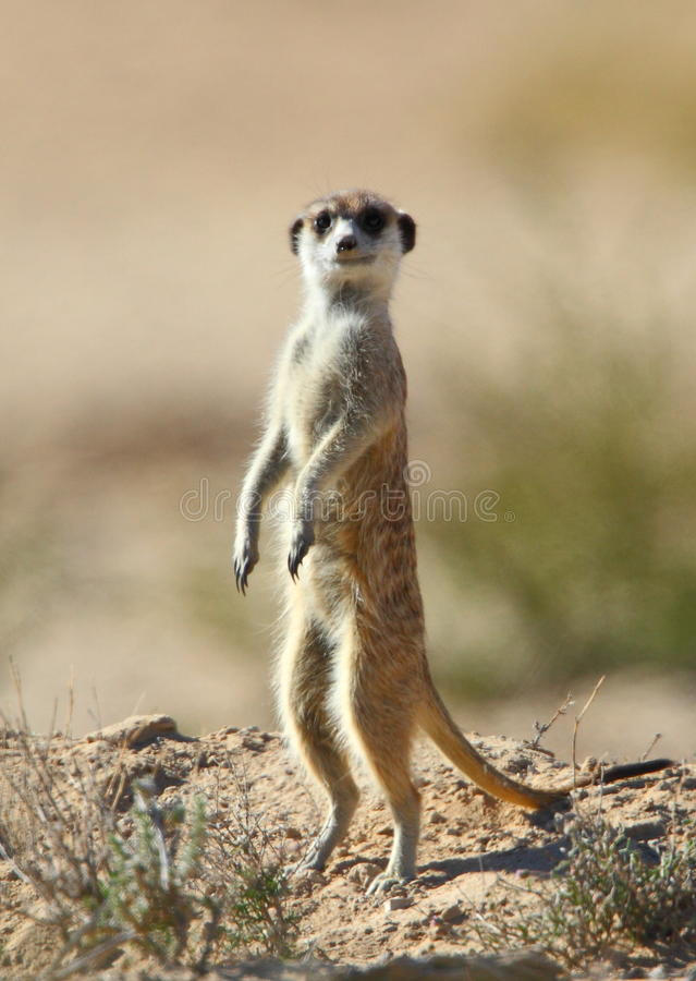 Free Male Meerkat Or Suricate Standing Guard Royalty Free Stock Photography - 14839327