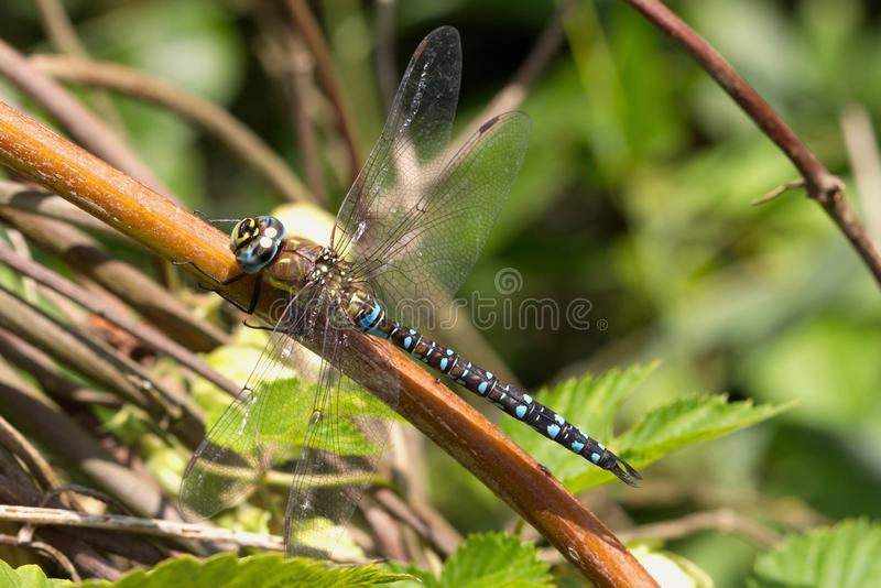 A male Migrant Hawker resting on a plant stem. stock image