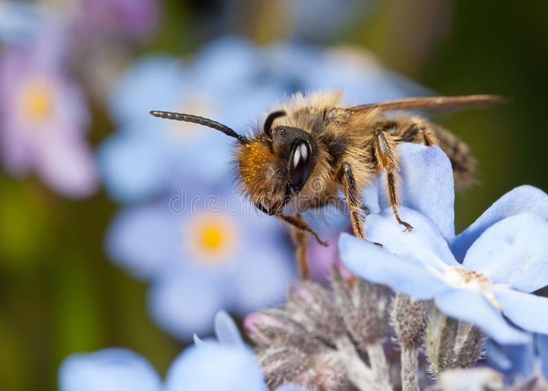 Download Male Mining Bee stock image. Image of closeup, aculeate - 24520171