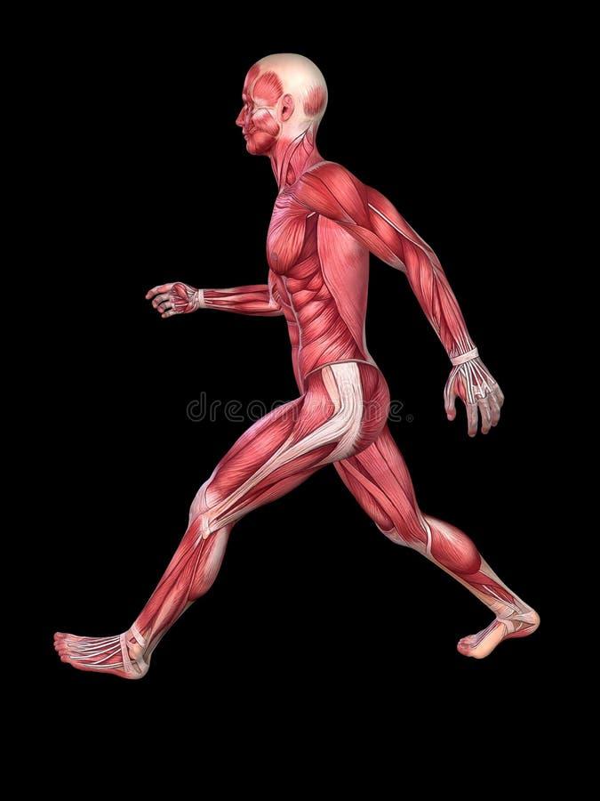 male model muskel vektor illustrationer