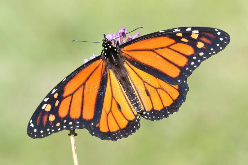 Male Monarch Butterfly danaus plexippus. With flowers and a green background stock photography