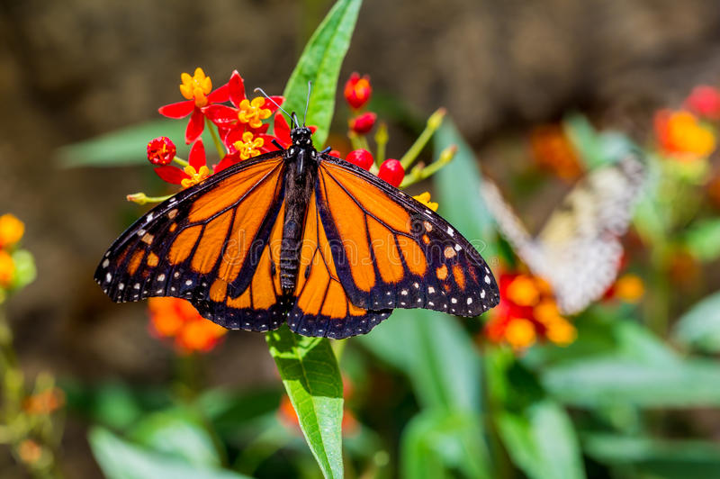 A male Monarch Butterfly. (Danaus plexippus) resting on a leaf stock images