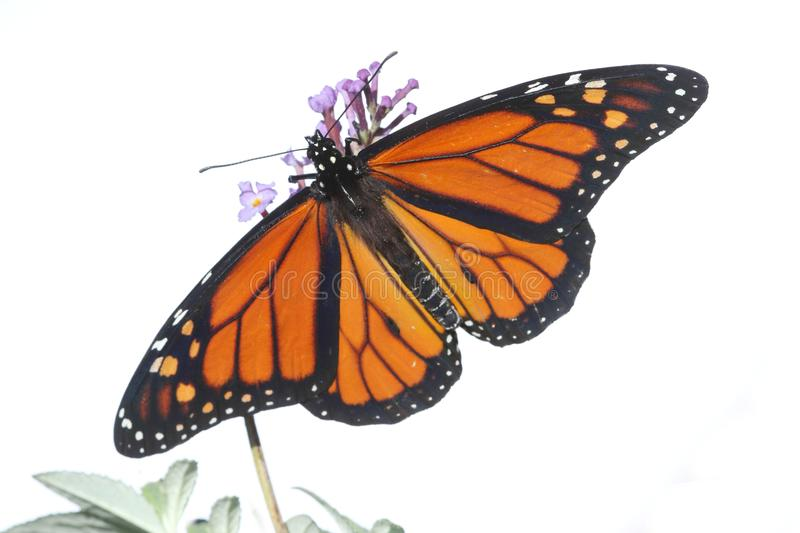 Male Monarch Butterfly danaus plexippus on White. Male Monarch Butterfly danaus plexippus isolated on white with flowers stock images