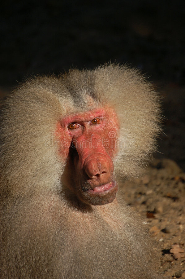 Download Male monkey almost human stock image. Image of joyless - 6995597