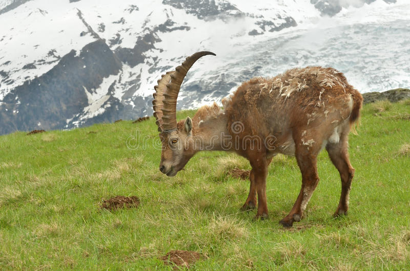 Download Male mountain ibex stock image. Image of moulting, coat - 24841533