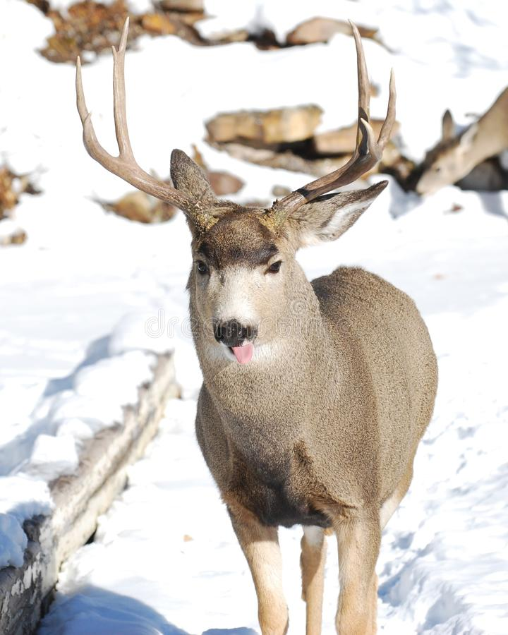 Male Mule Deer Sticking Out Tongue Stock Photography