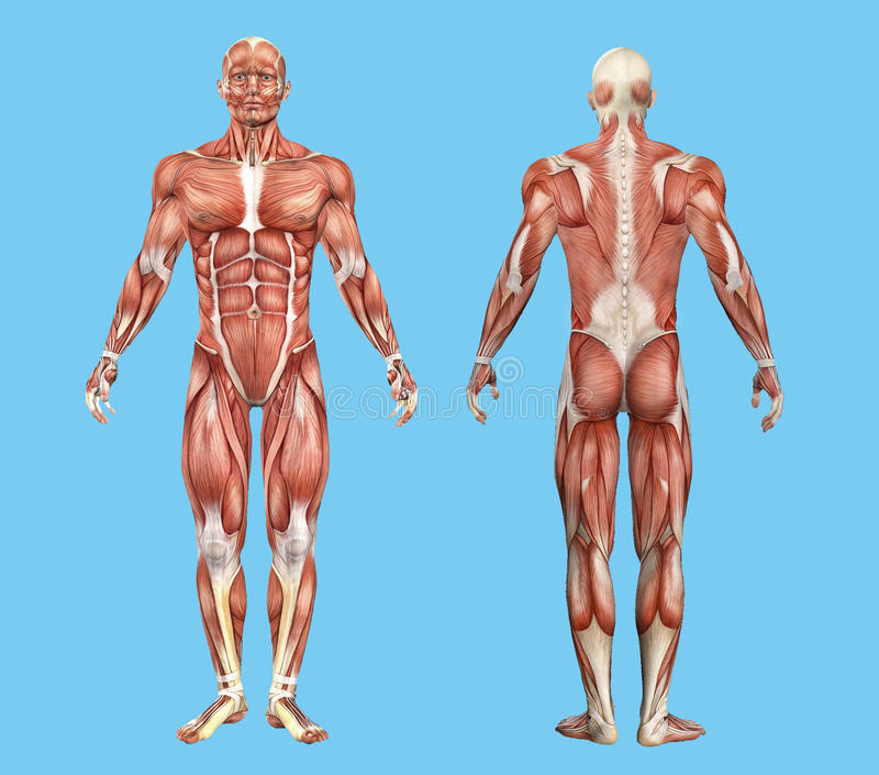 Male Back Muscle Anatomy Diagram Diy Enthusiasts Wiring Diagrams