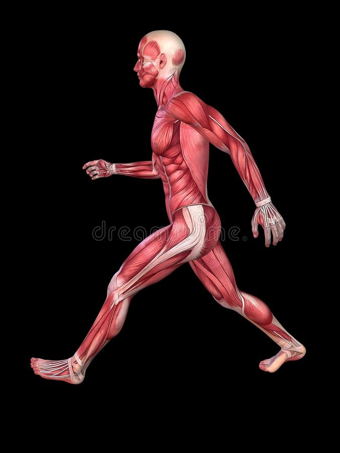 Download Male muscle model stock illustration. Image of body, anatomical - 15435335