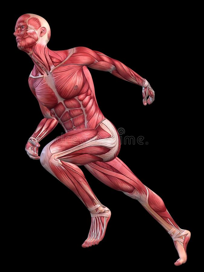 Male Muscle Model Stock Photo