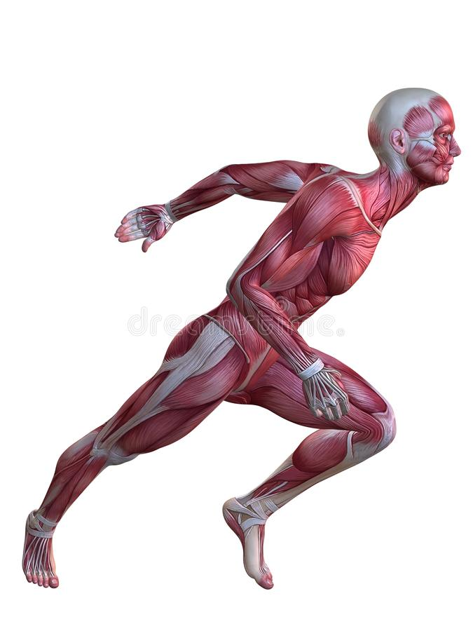 Male Muscle Model Stock Image