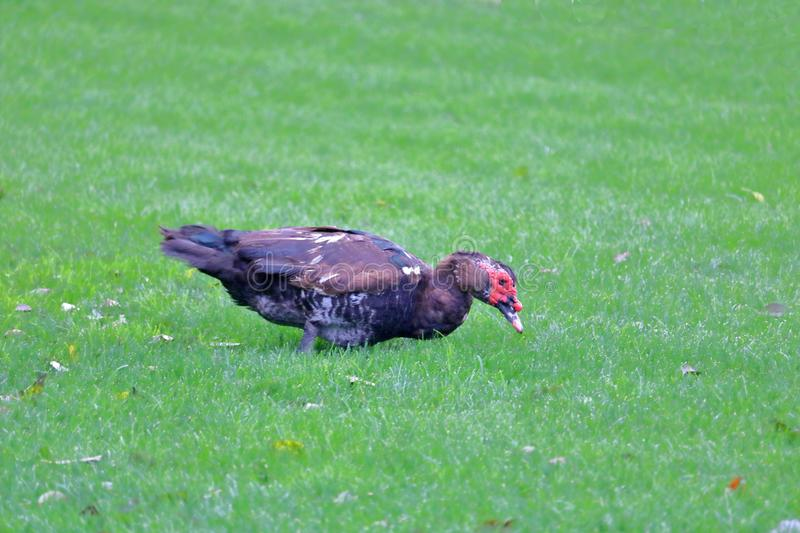 Male Muscovy Duck Grazing in Grass royalty free stock photo