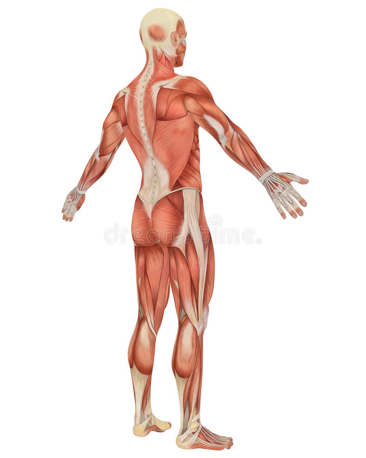 Male Muscular Anatomy Angled Rear View vector illustration