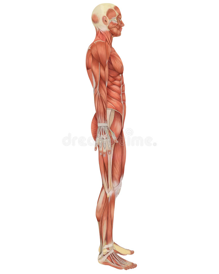 Male Muscular Anatomy Side View Stock Illustration - Illustration of ...