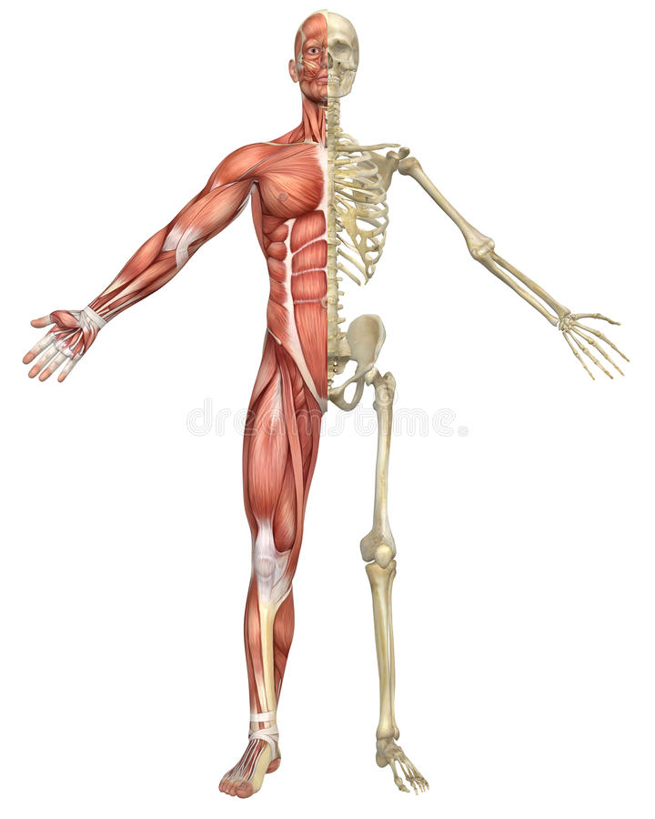 male muscular skeleton split front view royalty free stock photo, Muscles