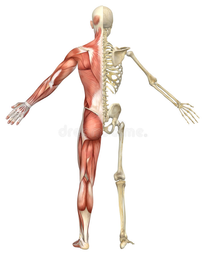 male muscular skeleton split rear view royalty free stock, Skeleton