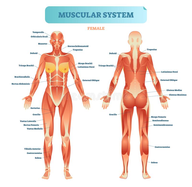 Male muscular system, full anatomical body diagram with muscle scheme, vector illustration educational poster. royalty free illustration