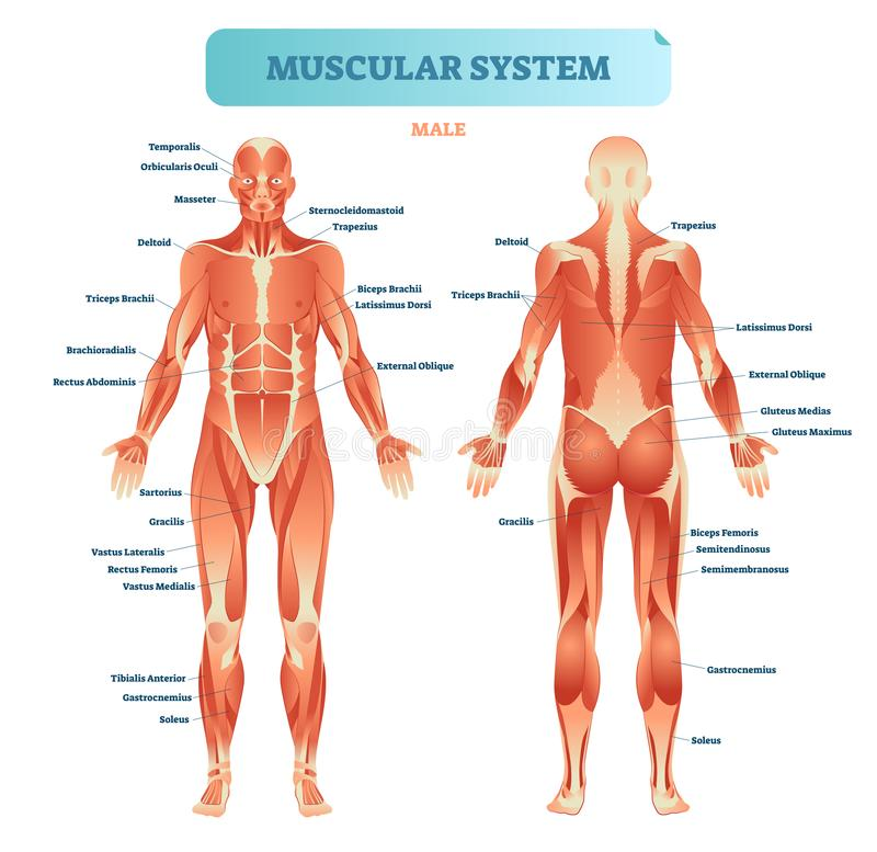 Male muscular system, full anatomical body diagram with muscle scheme, vector illustration educational poster. Fitness health care information stock illustration