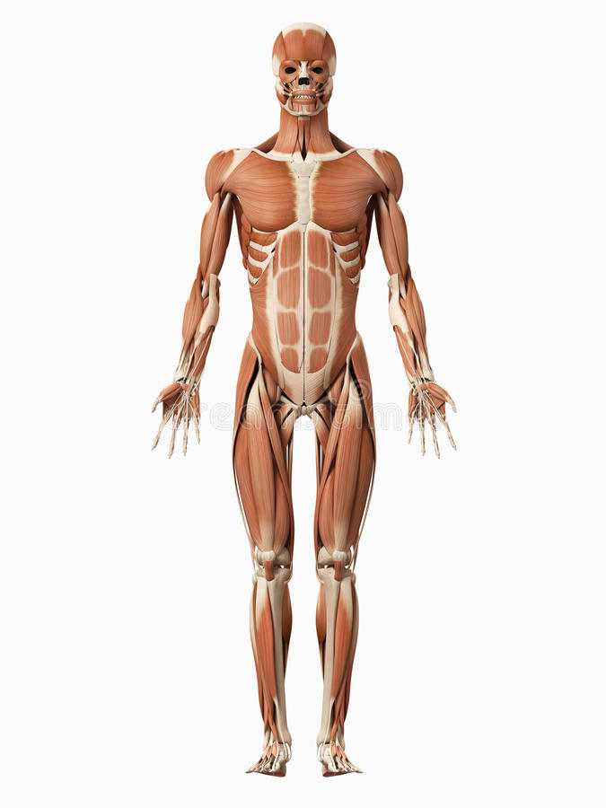 The male muscular system stock illustration. Illustration of ...