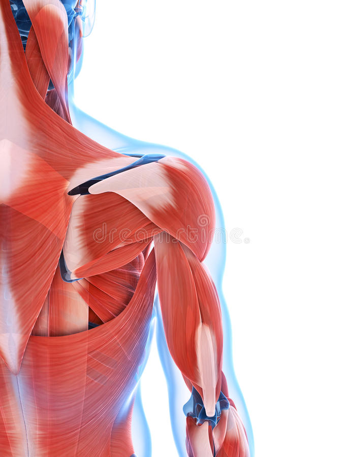Download The male musculature stock illustration. Image of science - 34165545