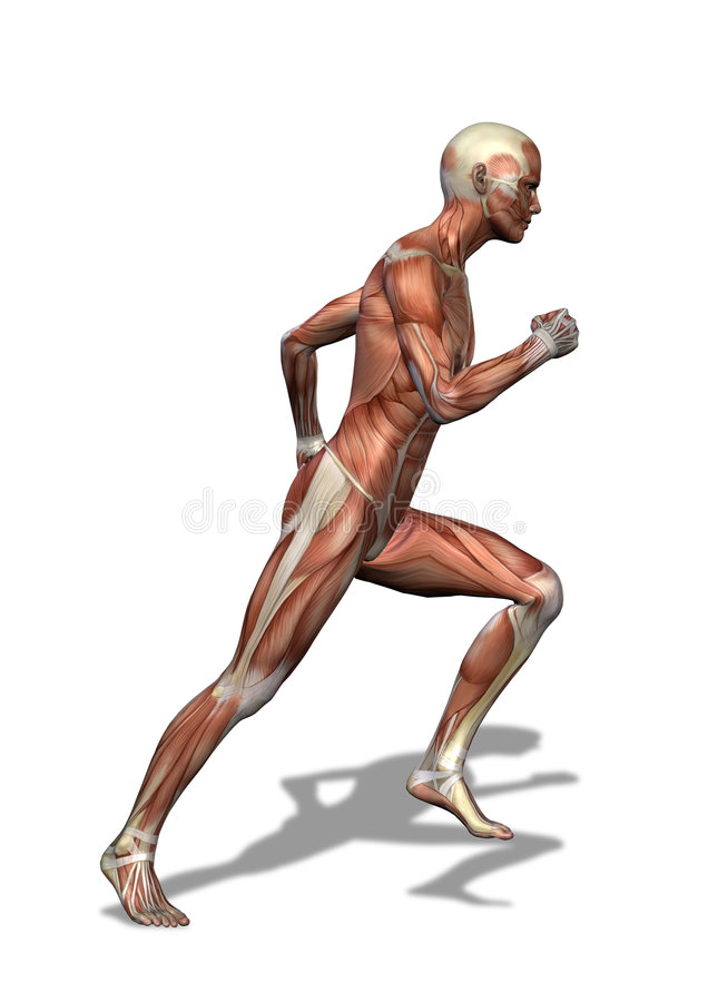 Male Musculature Running vector illustration