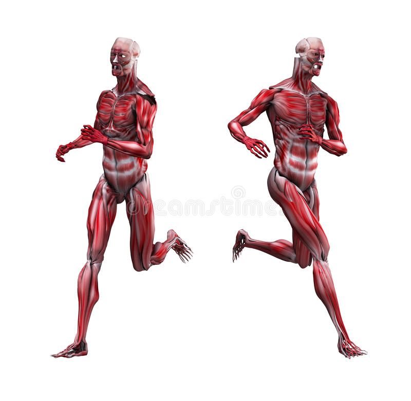 Male Musculature Running. Example of male musculature running without bone structure vector illustration