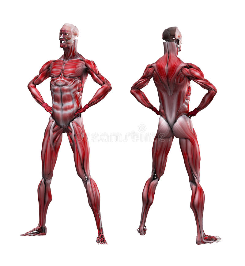 Male Musculature. In standing pose without bone structure royalty free illustration