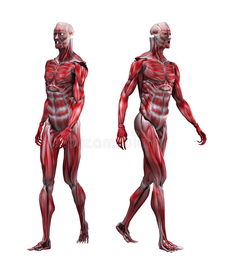 Male Musculature Walking. Example of male musculature walking without bone structure royalty free illustration
