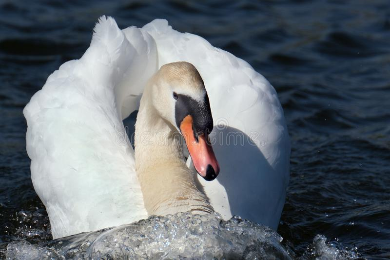 Male Mute Swan at speed in fresh water lake. stock images